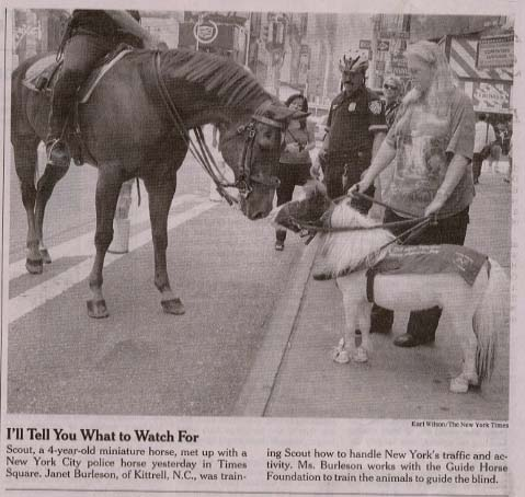 Guide Horse trainee meets Police horse in Times Square, NY