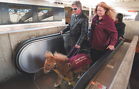 Miniature Horse Headlines - Mini Horses law - legal cases